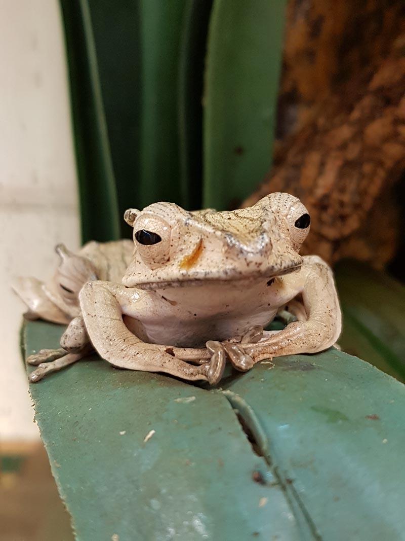 Photo de grenouille Polypedates otilophus prise à l'Insectarium de Lizio, parc zoologique des petites bêtes, dans le Morbihan.