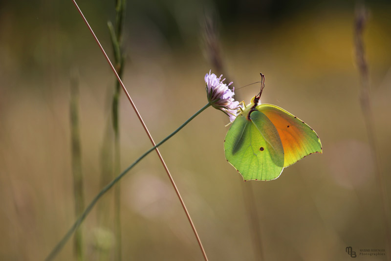 Papillon citron (Gonepteryx cleopatra) - Volière à papillons - Insectarium de Lizio, parc zoologique des petites bêtes en Bretagne.