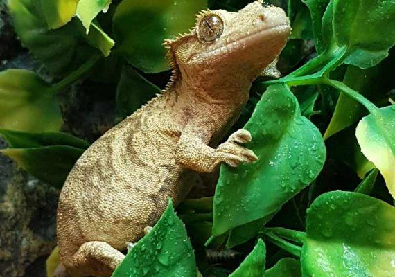 Gecko à crête (Correlophus ciliatus), parc zoologique des petites bêtes en Bretagne.