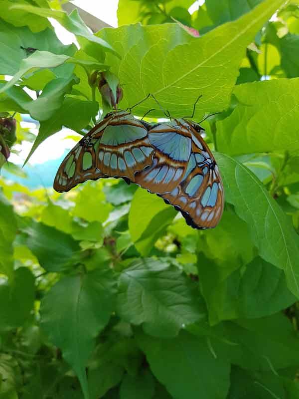 Papillons (Siproeta steneles)- Volière à papillons - Insectarium de Lizio, parc zoologique des petites bêtes en Bretagne.