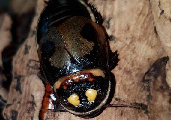 Blatte Lucihormetica verrucosa à l'Insectarium de Lizio, parc zoologique des petites bêtes