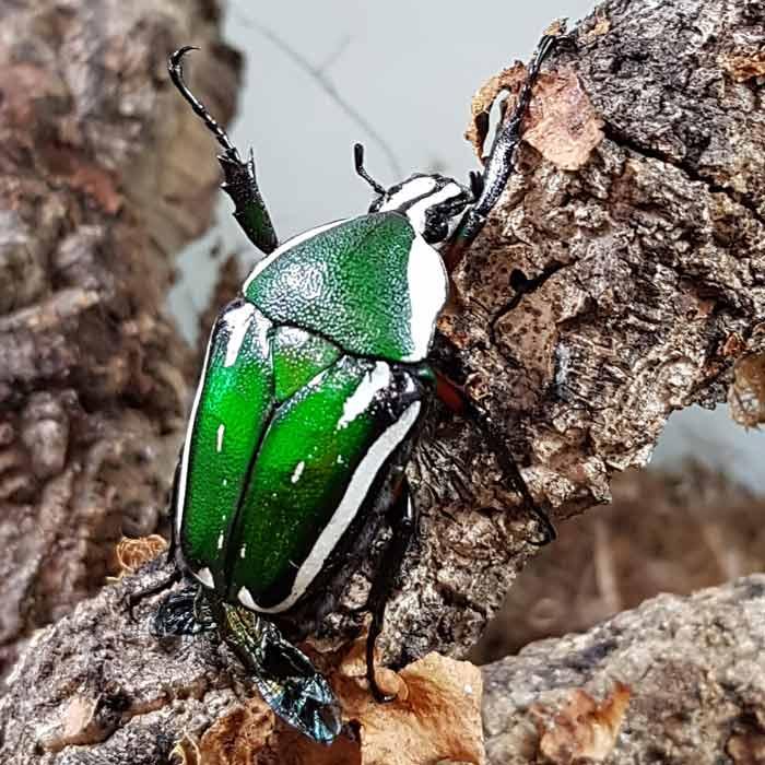 Cétoine (Mecynorrhina torquata), Insectarium de Lizio, parc zoologique des petites bêtes en Bretagne.