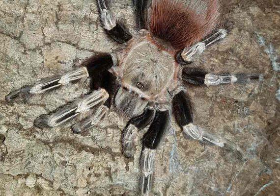 Mygale Nhandu chromatus à l'Insectarium de Lizio, parc zoologique des petites bêtes, en Bretagne.