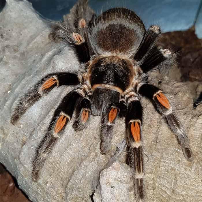 Mygale Brachypelma auratum prise à l'Insectarium de Lizio, parc zoologique des petites bêtes, dans le Morbihan