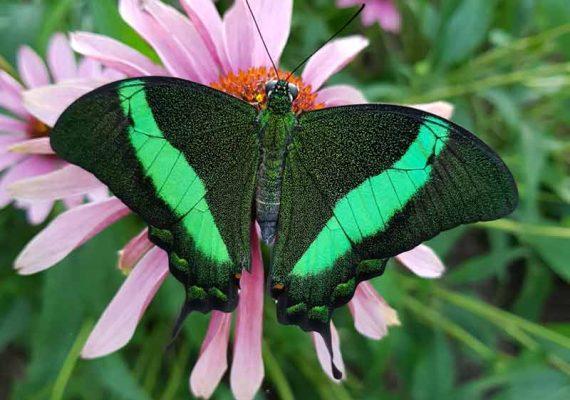 Papillon machaon émeraude Papilio palinurus à l'Insectarium de Lizio, parc zoologique des petites bêtes, dans le Morbihan