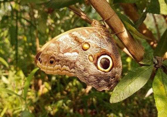 Papillon hibou Caligo eurilochus prise à l'Insectarium de Lizio, parc zoologique des petites bêtes, dans le Morbihan à quelques km de Vannes.