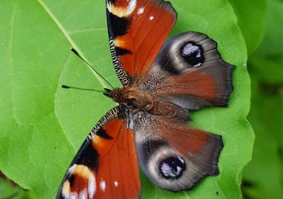 Papillon Paon du jour (Aglais io), Insectarium de Lizio, parc zoologique des petites bêtes en Bretagne.
