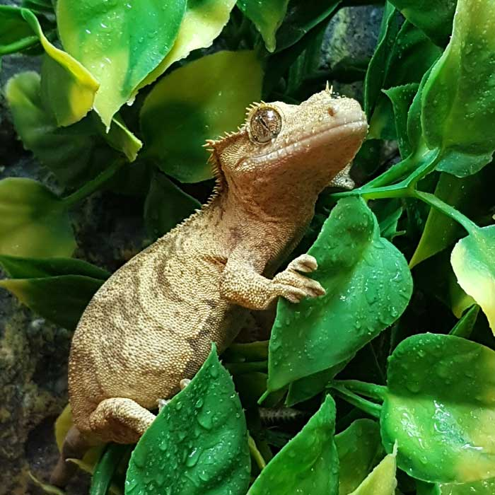 Gecko à crête (Correlophus ciliatus), Insectarium de Lizio, parc zoologique des petites bêtes en Bretagne.